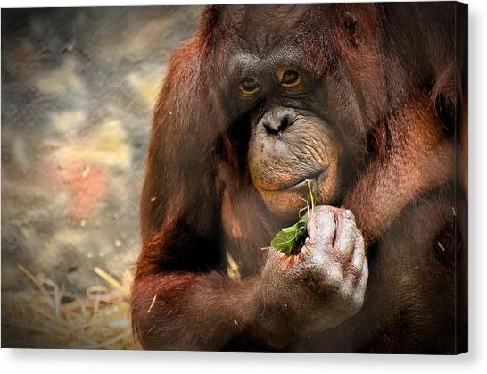 Orangutan Canvas Print - Pondering by Mark Papke