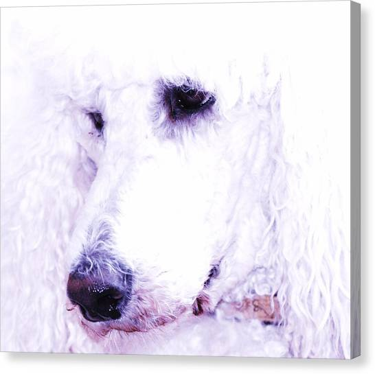 Poodle Face Canvas Print