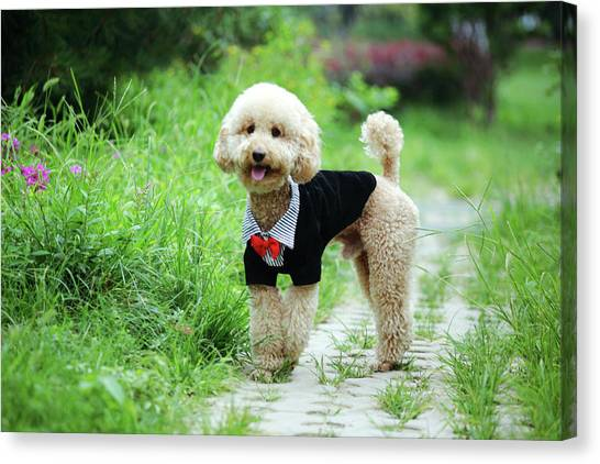 Poodle Wearing Suit Canvas Print by Photography by Bobi