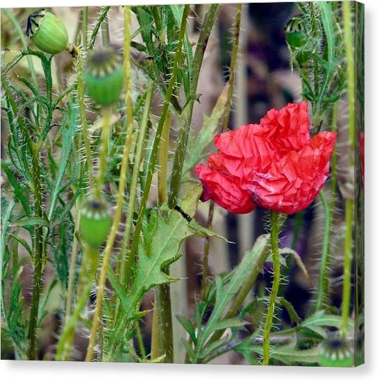 Popped Poppy Canvas Print by Rdr Creative