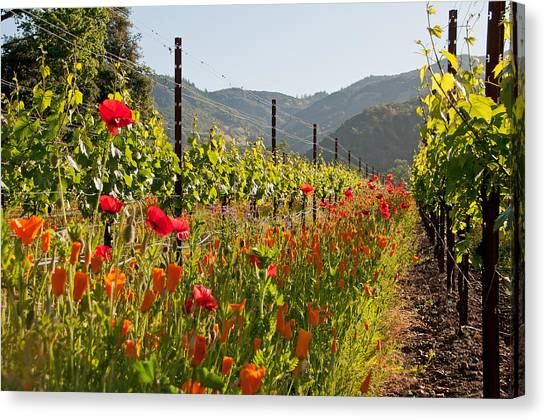 Poppies In The Vineyard Canvas Print by Kent Sorensen