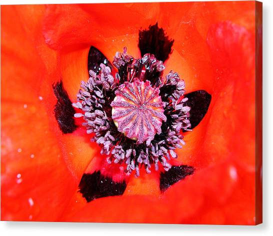 Poppy's Heart Canvas Print