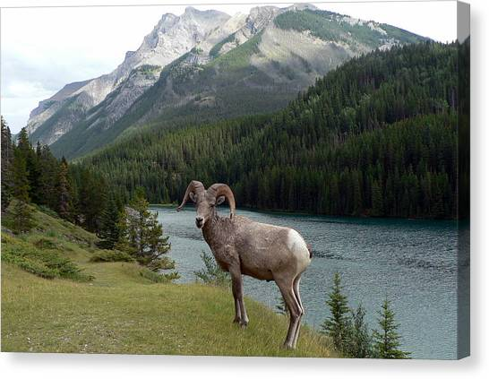 Portrait Of A Bighorn Sheep At Lake Minnewanka  Canvas Print