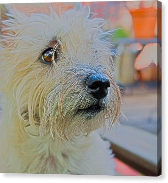 Portrait Of A Cairn Terrier Canvas Print