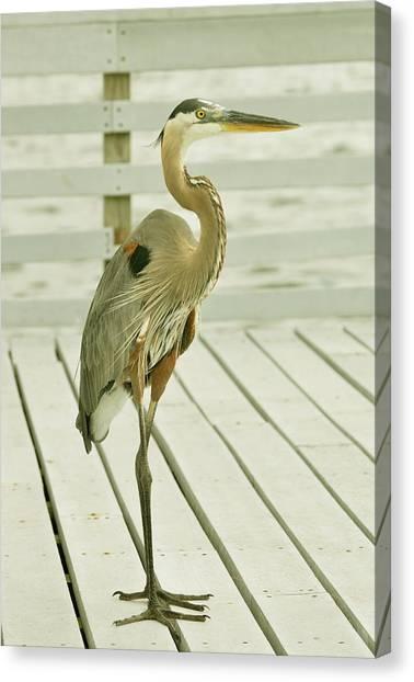 Portrait Of A Heron Canvas Print