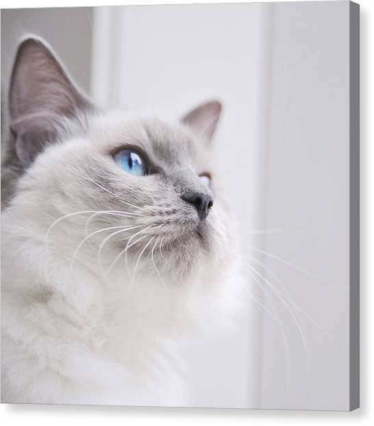 Portrait Of A Ragdoll Cat Canvas Print