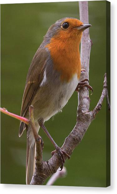 Portrait Of A Robin Canvas Print