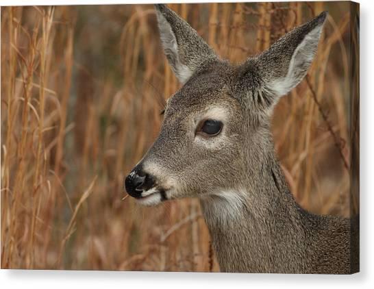 Portrait Of  Browsing Deer Canvas Print