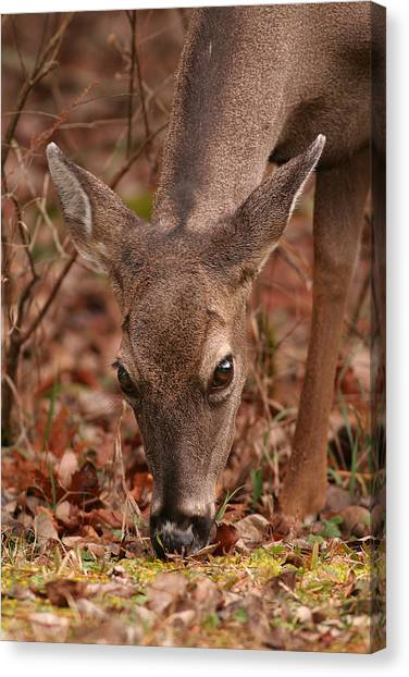 Portrait Of  Browsing Deer Two Canvas Print