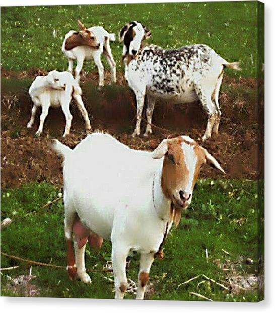 Goats Canvas Print - Pose Of The Day~tilt Your Head~ by Mima Tungbaban