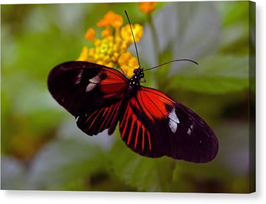 Postman Butterfly Canvas Print by Cheryl Cencich