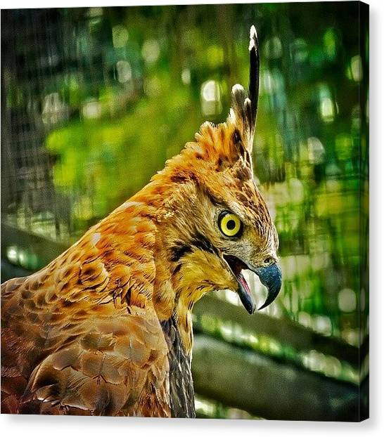Hawks Canvas Print - Power by Rahman Galela
