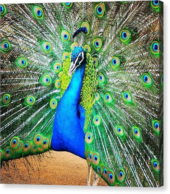 Peacocks Canvas Print - #prague #peacock by Vincent Fortier
