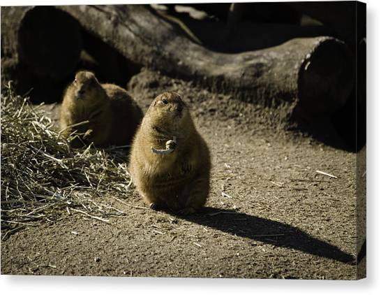 Prairie Dog Sees The Shadow Canvas Print