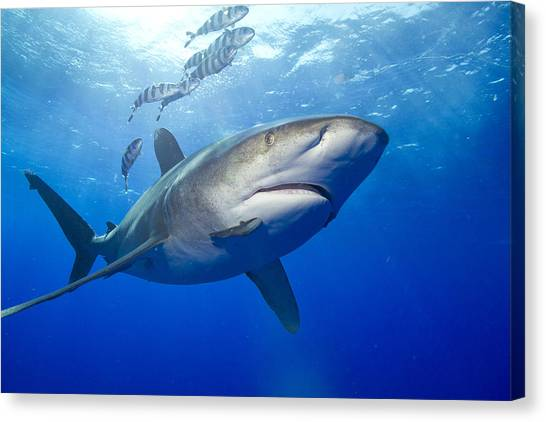 White Tip Sharks Canvas Print - Predatory Oceanic Whitetip Shark by Stephen Frink