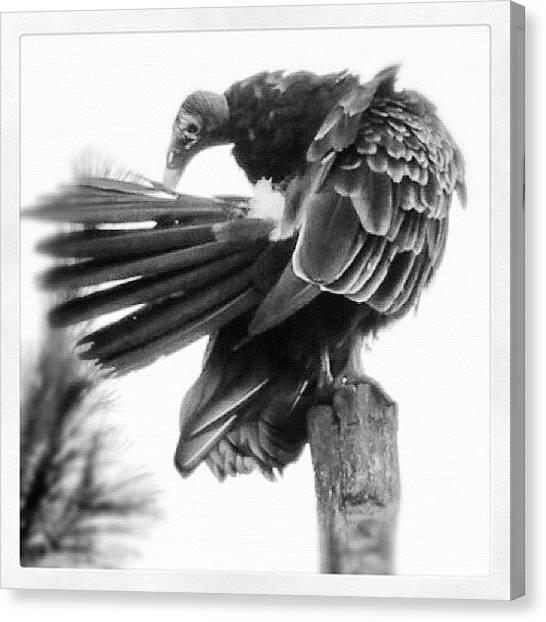 Vultures Canvas Print - #preening #birdofprey!! by Manan Shah