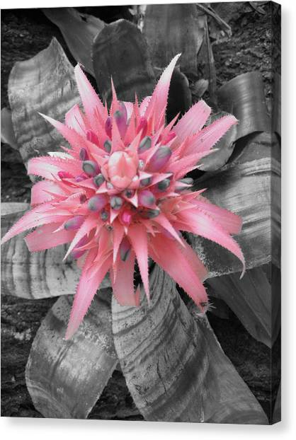 Pretty Bromeliad Canvas Print by Carrie Munoz