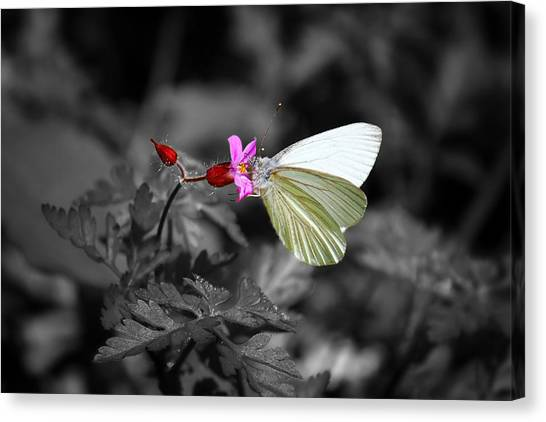 Pretty Margined White Butterfly Canvas Print