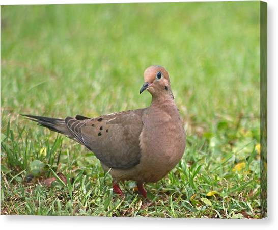 Pretty Mourning Dove Canvas Print