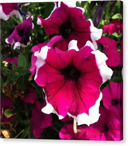 Trumpets Canvas Print - Pretty Petunias by Abigayle Costis