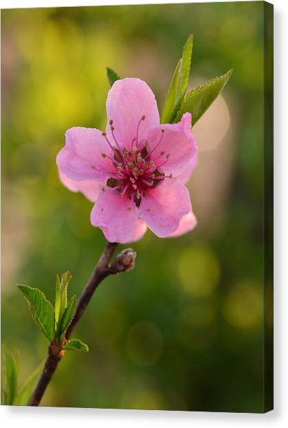 Pretty Pink Peach Canvas Print