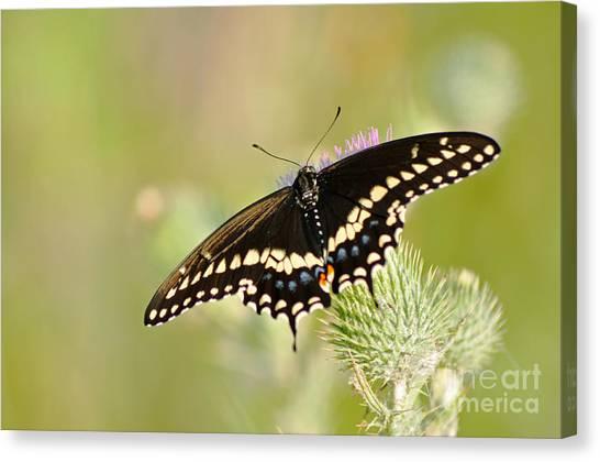 Pretty Swallowtail Canvas Print by Ginger Harris