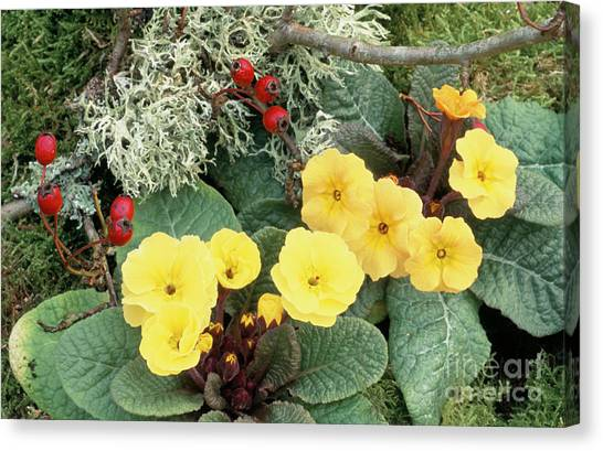Primroses Canvas Print by Archie Young