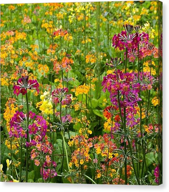 Woodland Canvas Print - Primula Candelabra Flowers At Durham by Dave Lee