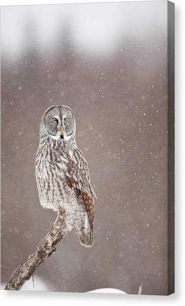 Profile Of A Great Gray Owl Canvas Print by Tim Grams