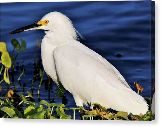 Profile Of A Snowy Egret Canvas Print