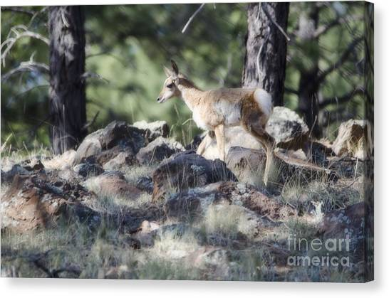 Pronghorn Antelope Fawn Canvas Print