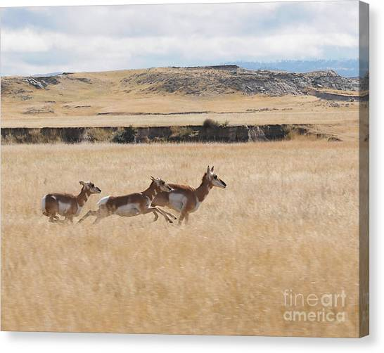 Pronghorn Antelopes On The Run Canvas Print