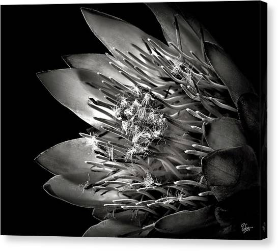 Protea In Black And White Canvas Print