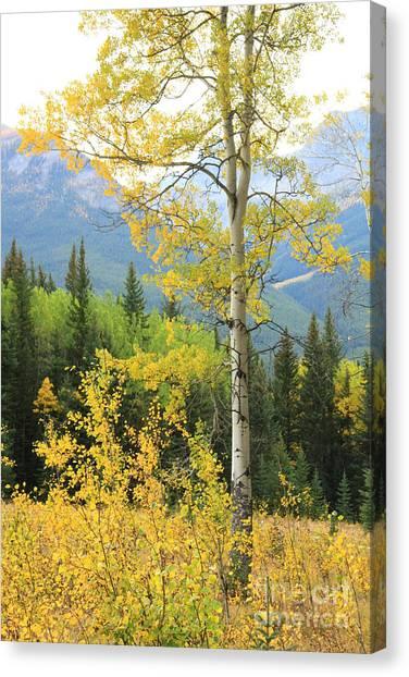 Proud Aspen Canvas Print