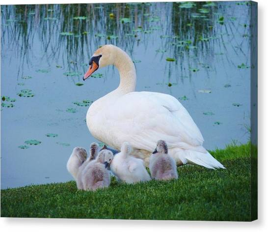 Proud Mother Swan Canvas Print by Jeanette Oberholtzer