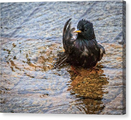 Starlings Canvas Print - Public Bathing by Bob Orsillo