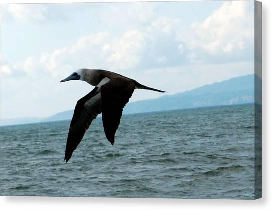 Puerto Vallarta - A Bird In Flight  Canvas Print