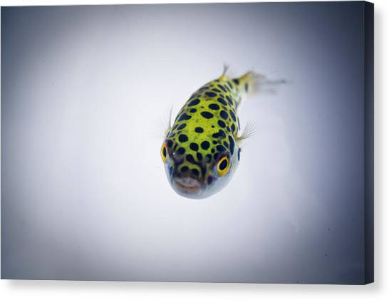 Puffer Canvas Print - Puffer Fish by Rich Johnson of Spectacle Photo