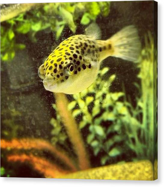 Fish Tanks Canvas Print - #puffer #tank #fish #aquarium #michigan by Meeshi Sense