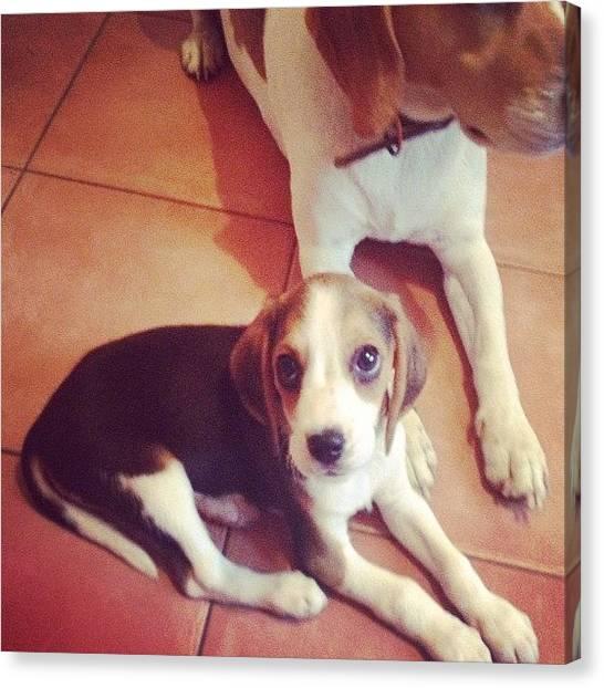 Beagles Canvas Print - #puppy #alf by Hannah Dolphin