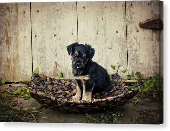 Puppy In A Tray Canvas Print