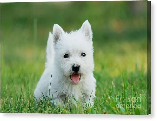 Puppy West Highland White Terrier Canvas Print by Waldek Dabrowski