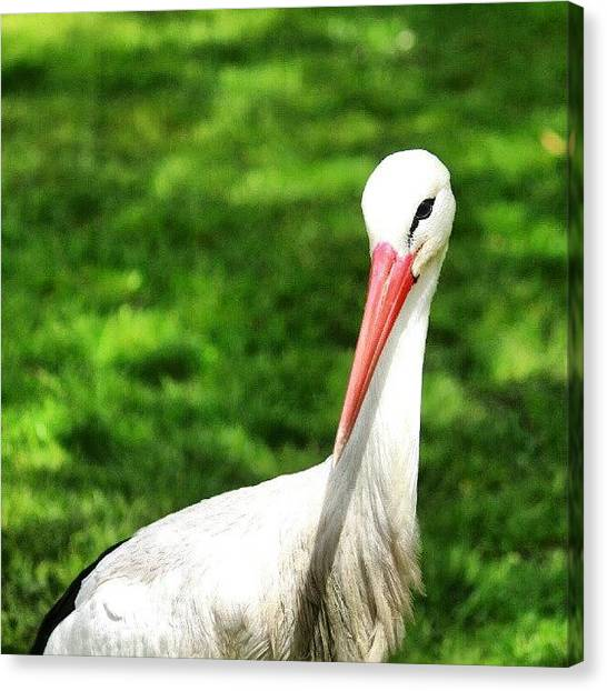 Storks Canvas Print - Purity. #pure #cigogne #stork #blanc by Zoltan Toth