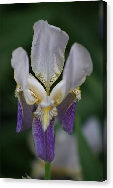 Purple And White Iris 2 Canvas Print by George Miller