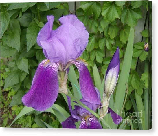 Purple Bearded Iris Canvas Print by Jane Whyte