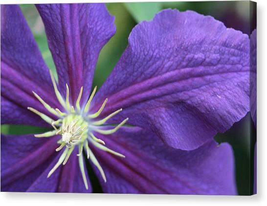 Purple Clematis Canvas Print by Peg Toliver