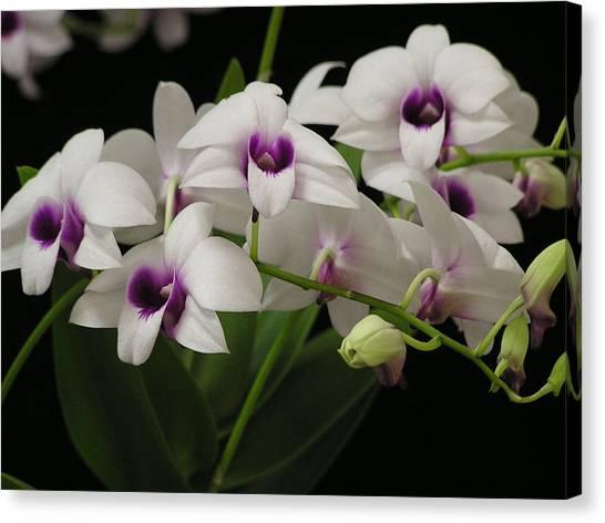 Purple Dendrobium Stem Canvas Print by Andrea Drake