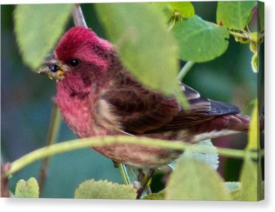 Purple Finch 3 Canvas Print
