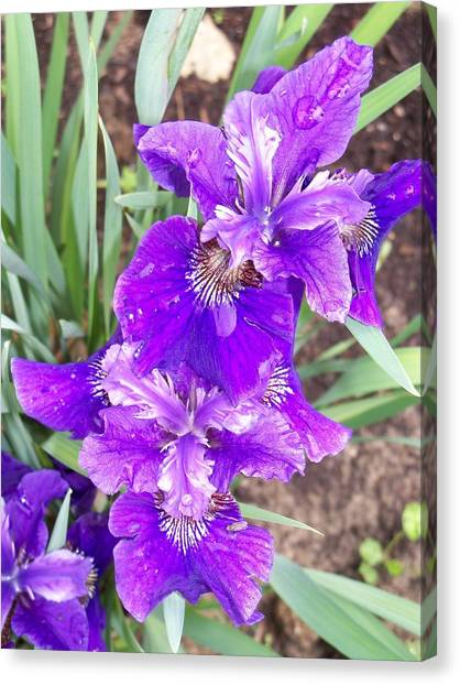 Purple Iris With Water Droplet Canvas Print