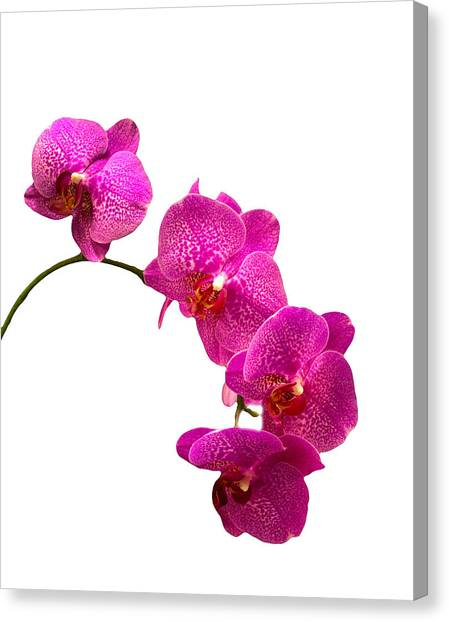 Purple Orchid On White Canvas Print